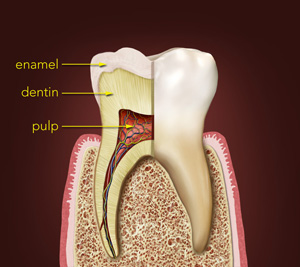 Teeth Contain Layers