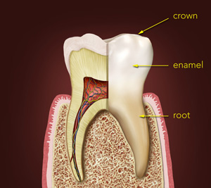 Parts of the Tooth