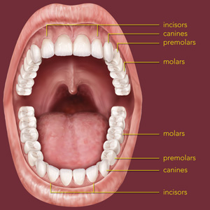 the anatomy of a tooth coast dental and orthodontics. Black Bedroom Furniture Sets. Home Design Ideas